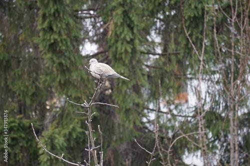 Fototapeta Gołąb dziki na gałęziach drzew obraz