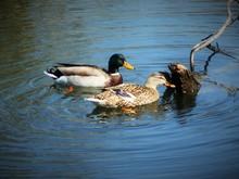High Angle View Of Mallard Ducks Swimming In Lake