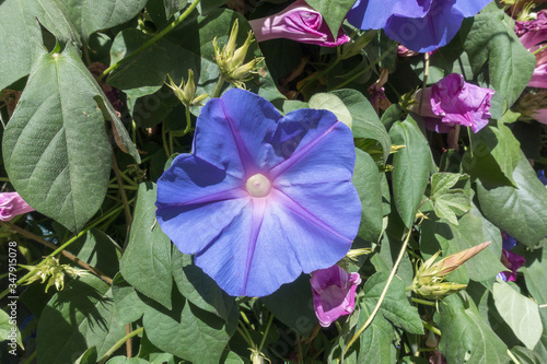 Photo close up of a morning glory bloom ipomoea
