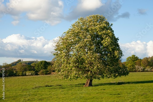 Photo European Horse Chestnut Tree (Aesculus hippocastanum)
