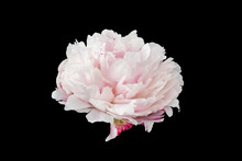 Isolated Single Pink White Peo...