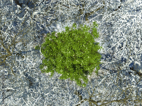 Photo Flowering green tree in a winter forest among snowy bare trees in a top view