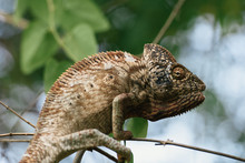 Large Oustalet's Chameleon In Tree Camouflage Colors Climbing Branch