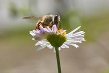 Bee Feeding On Santa Barbara Daisy