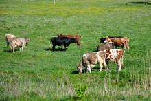 Cows Grazing In A Field, Rural...