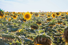 A Full Field Of Sunflowers On ...