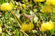canvas print picture - Cape Sugarbird (Promerops cafer) on a protea at Fernkloof Reserve, Hermanus, South Africa