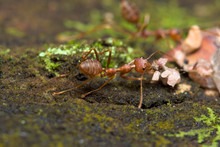 Close-up Of Ants Carrying Dry Leaves On Field