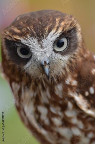 Fényképezés Boo book owl