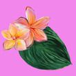 canvas print picture - Frangipani Plumeria Tropical Flowers. Tropical floral summer plumeria flowers with leaf hand drawn with gouache on violet background. Billet for the designer