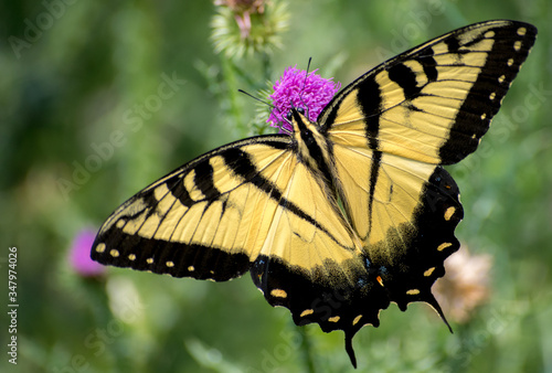 Butterfly with yellow wings over pink flower