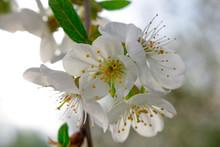 White Cherry Blossoms On A Bra...
