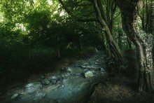 Forest Stream Along Trees