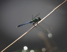 A Blue Dasher Dragonfly At Rest On A Slender Plant Near A Lake In Eastern Pennsylvania