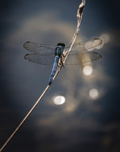 A Blue Dasher Dragonfly At Res...