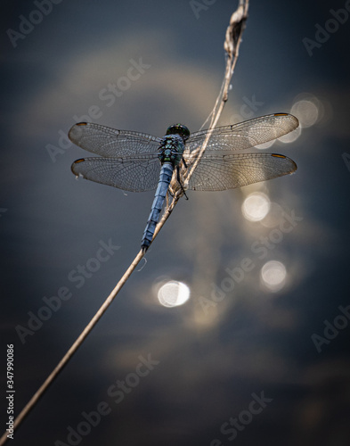 A blue dasher dragonfly at rest on a plant near a lake in eastern Pennsylvania Canvas Print