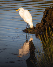 A Great White Egret Stands On ...