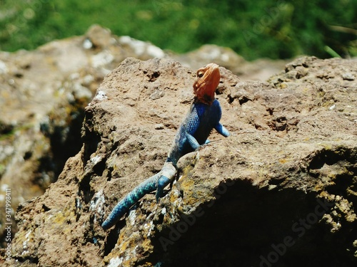 Photo Agama Lizard On Rock