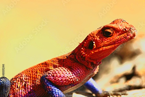 Photo Close-up Of Agama Lizard Against Sky