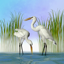 Great White Egrets - The Great...