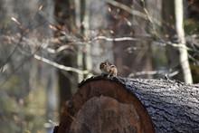 Chipmunk On Tree Stump