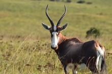 Blesbok Standing On Field