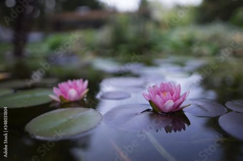 Carta da parati Close-up Of Pink Lotus Water Lilies In Pond