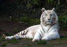 Portrait Of White Tiger Relaxing On Field