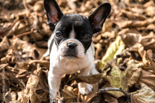 Close-up Portrait Of French Bulldog On Dry Leaves Fototapet