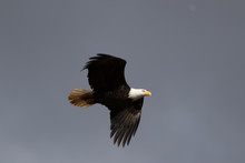 A Single Bald Eagle Circling In The Sky Searching For Food.