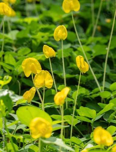 Photo Close up of Group of Pinto Peanut or Arachis Pintoi on Nature Background