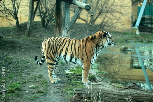 Photo Tiger On Field By Pond In Zoo