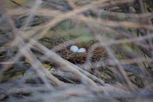 Two Pigeon Eggs In Bird's Nest.Bird Nest White Dove Pigeon Eggs Lay On The Nest In Morning Sunlight