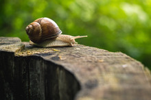 Brown Land Snail Climbing On T...