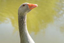 Close-up Portrait Of Goose Head