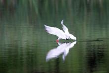 Caspian Tern Flying Over Lake