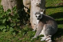Lemur Relaxing On Field