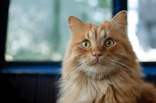 Red Young Cat Is Sitting On The Floor And Looking At The Camera On Big Windows Background On The Balcony, Domestic Pets Concept