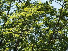 Stewartia Sinensis Ou Stuartie, Arbuste Rare à écorce Attrayante, Feuillage Elliptique à Grandes Fleurs Blanches Parfumées En été