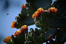 Close-up Of Flowers Blooming On Prickly Pear Cactus