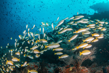 Fototapeta na wymiar Underwater scene on colorful reef fish swimming together in clear water among a pristine reef formation