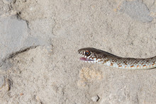 Snake With Open Jaws Krupnom Plan Looks At Camera And Crawls. Viper And In The Courtyard, The Concept Of Catching Snakes