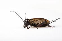 Black Gryllus Bimaculatus Cric...