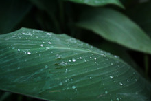 Water Drop On Canna Lily Big Leaves Plant Blooming