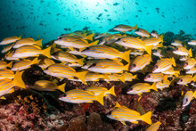 School Of Yellow Snappers Swimming Over The Reef