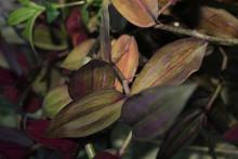 Wandering Jew Decorative Vine Plant