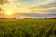 Sunset or sunrise over a green wheat field