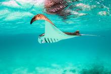 Manta Ray Swimming Gracefully ...