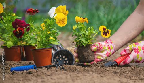 Fototapeta The gardener is planting flowers in the garden. Selective focus. obraz