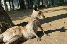Kangaroo Relaxing By Tree On Field